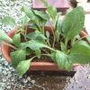 ジギタリスの挿し芽をしました