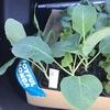 キャベツの苗とブロッコリーまたはカリフラワーの苗を見分けるポイントって何だろう?