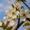 「佐久の季節便り」、「賢治ゆかり・石鳥谷のやまなし」が開花…。