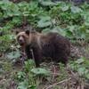 北海道ヒグマ襲撃事故と被害に思う事。人を食べた(食害)のクマの凶暴性は?また襲ってくるのか!?