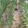 通路の中耕で根張りを良くする ☆ ホーム玉ねぎと種蒔に現れる人となり