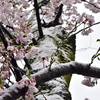 ☃雪の谷中霊園 桜並木🌸