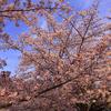 茶臼山古墳から見送る夕陽とソメイヨシノ