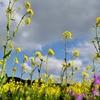 春の日ざしに映えるアブラナ 福岡県福津市奴山