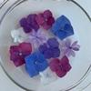 紫陽花遊び