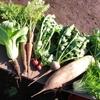 家庭菜園で気軽にできる虫よけは唐辛子を使って作れます!