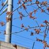 「ひろば」で観られる、「山桜」、「里桜(八重桜)」いろいろ‥。