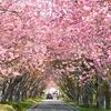 八重桜のトンネル、石崎地主海神社…