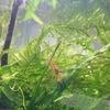 ヤマトヌマエビ孵化12ヵ月目