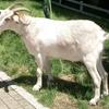 中国では羊と山羊のどちらがよく食べられるのかを調べてみたら…