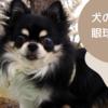 【犬の緑内障】チワワが緑内障と3年闘病の末、眼球摘出を免れた体験談