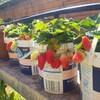 【家庭菜園】イチゴ苗完売御礼!イチゴの株分けでお小遣い稼ぎ!3株から300株までの道