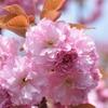 暖かな日の八重桜