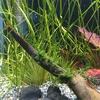 ブリクサ・ショートリーフを植える。