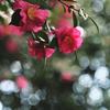 冬と山茶花と玉ボケ