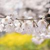 今日もX100Fの桜撮りの練習に励んでます