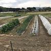 春キャベツの収穫と、夏野菜の定植