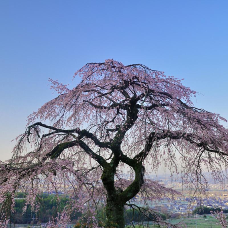 これは穴場!京都府内の見応えある一本桜・大桜 厳選3