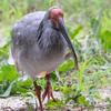 🦜野鳥の回【186】🆕学名Nipponia nippon特別天然記念物「トキ」