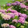 小岩菖蒲園へ紫陽花を撮りに行く。