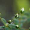 雪柳のつぼみ