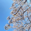 大阪城の桜 (오사카성 벚꽃)