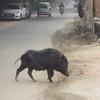 意外と牛がいない でも野良豚がいた デリー駆け足半日観光 【デリー/インド】(2016年)