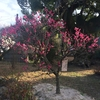 梅は咲いたか?桜はまだかいな?