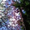 南米の桜 ラパチョの木