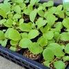 白菜の植え付けの準備