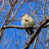 鳥撮り@東高根森林公園でヒレンジャクはじめましてー!&トラツグミ♪