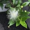 「ギンバイカ」という花の「よもやま話」