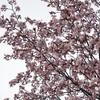 ようやく咲いた桜と『私の中のあなた』と花粉症