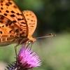 🦋アザミと蝶