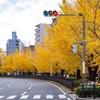 京都・西陣 - 堀川通の銀杏並木