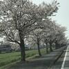 「マダム倶楽部」活動報告 開花チェック・オッケー!!ということで、翌日は満開の桜並木の下を歩きました♪ 4月7日、8日