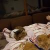 リビングで姪っ子が寝ていると添い寝してくるココちゃん♪ココちゃんとたまちゃんの猫団子が見られるのも近い!?