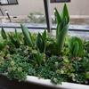 今朝のベランダ菜園