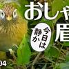 1104【おしゃれ眉毛のガビチョウ】マガモ?カルガモ?マルガモ久しぶり。カイツブリにメジロの鳴き声、コサギ幼鳥?コガモのエクリプス【 #今日撮り野鳥動画まとめ 】 #身近な生き物語