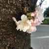 文京区播磨坂🌸お花見散歩。今日の開花状況。