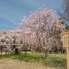 2021年の桜予習①:2020年3月京都で撮影した桜