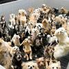福井地検は『子犬工場』状態だったとされる動物販売業者を不起訴処分!これを不服とした公益社団法人日本動物福祉協会は福井検察審査会に審査を申し立て!!