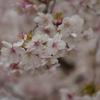 根上山「大漁桜」