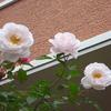ぼちぼち咲いている…2