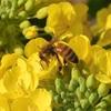 アブラナ科野菜の花3