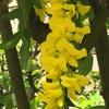 キングサリの花