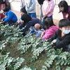 やまびこ:ダイコンの収穫
