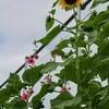 「佐久の季節便り」、「浅間山」が、夏色に…。