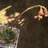 今朝の多肉。エボニーの地味な花と、沙羅姫牡丹(さらひめぼたん)の派手な花です。