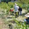 ブルーベリーの土を撒く 草刈り コスモス